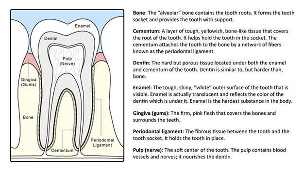 Anatomy of a Tooth Chart